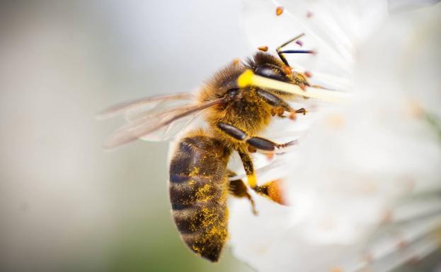 El Parlamento Europeo pide reducir el uso de pesticidas para salvar a las abejas