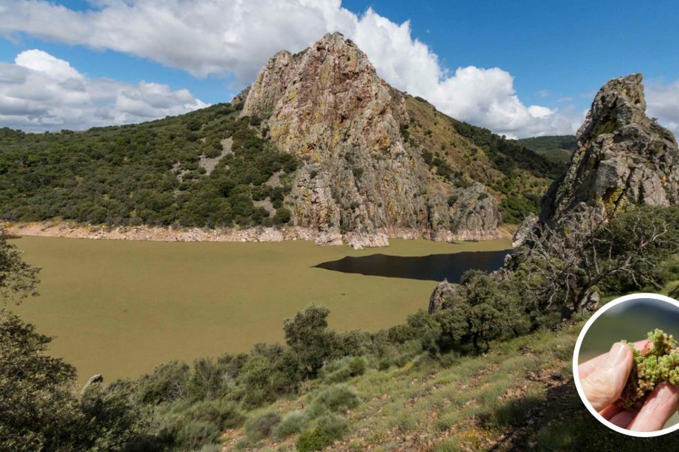 En el Salto del Gitano y en sus proximidades hay tramos del río en los que la 'Azolla filiculoides' ocupa todo el ancho del cauce. / ANDY SOLÉ