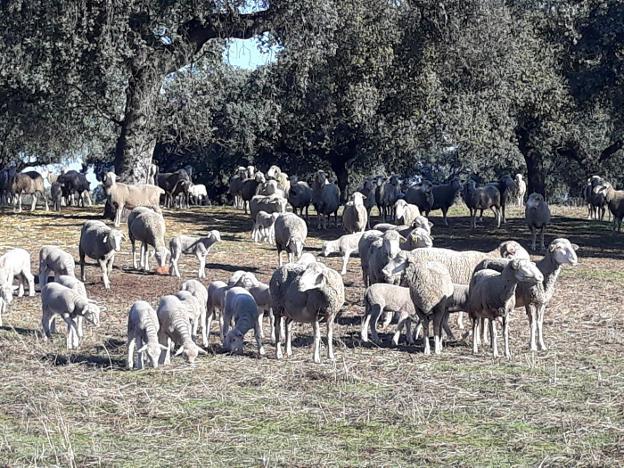 Control de rebaño de ovejas para no dañar el suelo de la dehesa. / HOY